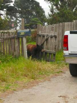 A bear pulled a stunner last week when it walked right into the yards of residents in Monterey, Pacific Grove and Carmel Valley, looking for food. After hours of hide and seek, the Department of Fish and Wildlife eventually darted the bear with a tranquilizer gun and then transported the animal to Los Padres National Forest for a successful release