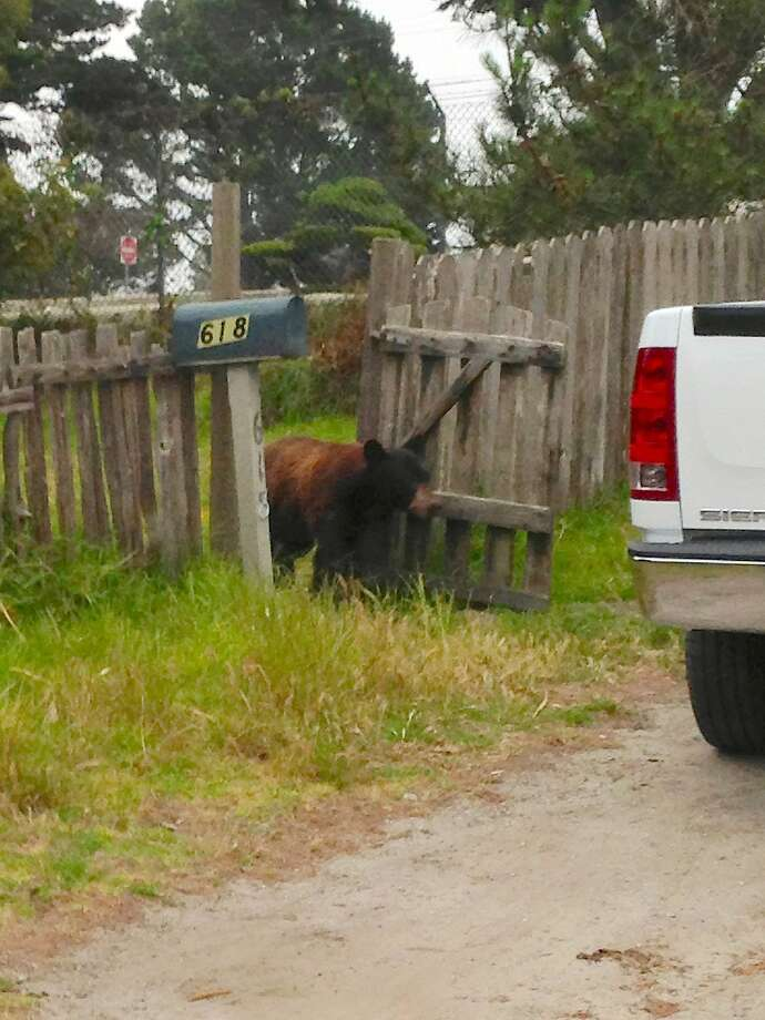 A bear pulled a stunner last week when it walked right into the yards of residents in Monterey, Pacific Grove and Carmel Valley, looking for food. After hours of hide and seek, the Department of Fish and Wildlife eventually darted the bear with a tranquilizer gun and then transported the animal to Los Padres National Forest for a successful release Photo: Matt Henderson, CDFW