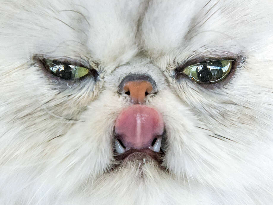 A Persian cat sticks out its tongue during the International pedigree dog and purebred cat exhibition in Erfurt, Germany, Saturday, June 20, 2015. Dogs and cats from 21 countries take part at the exhibition and the different competitions. Photo: Jens Meyer, Associated Press / AP