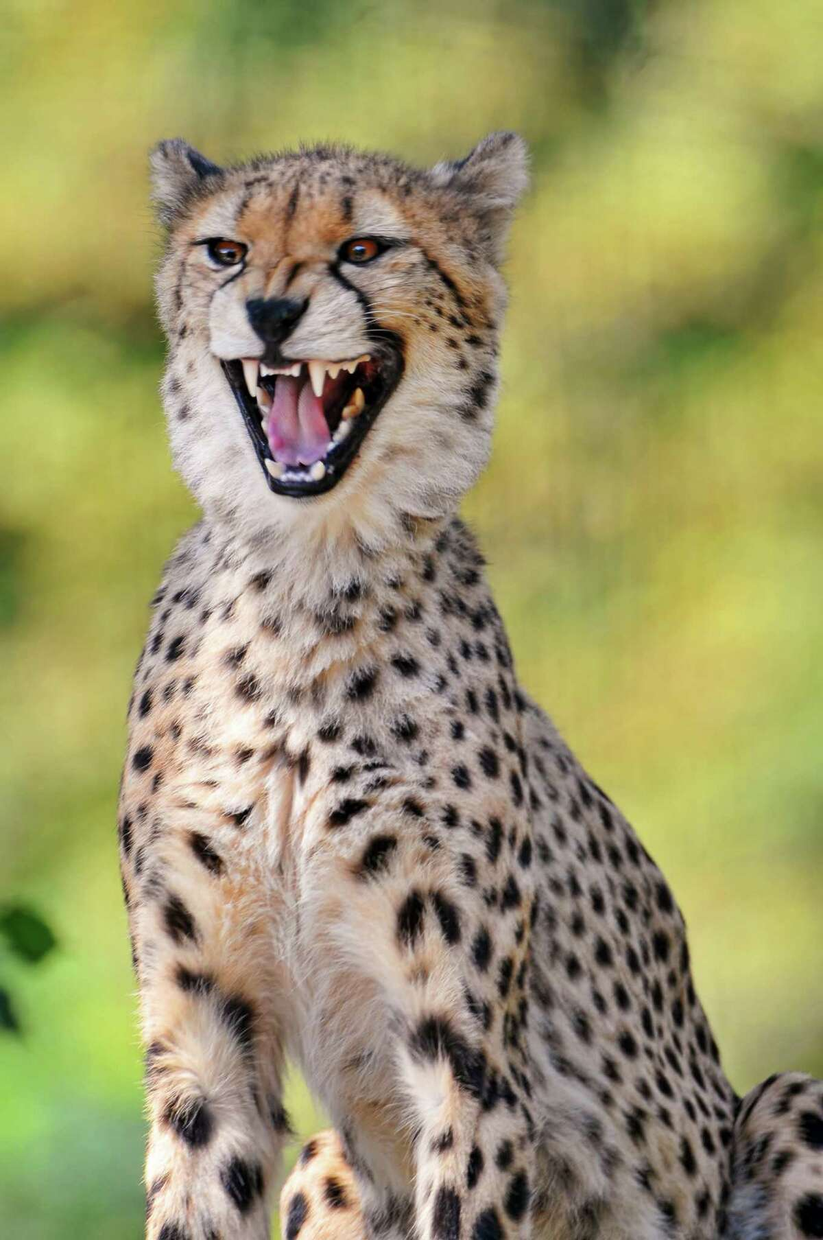 Why is there no gambling in Africa? Because there are too many cheetahs.