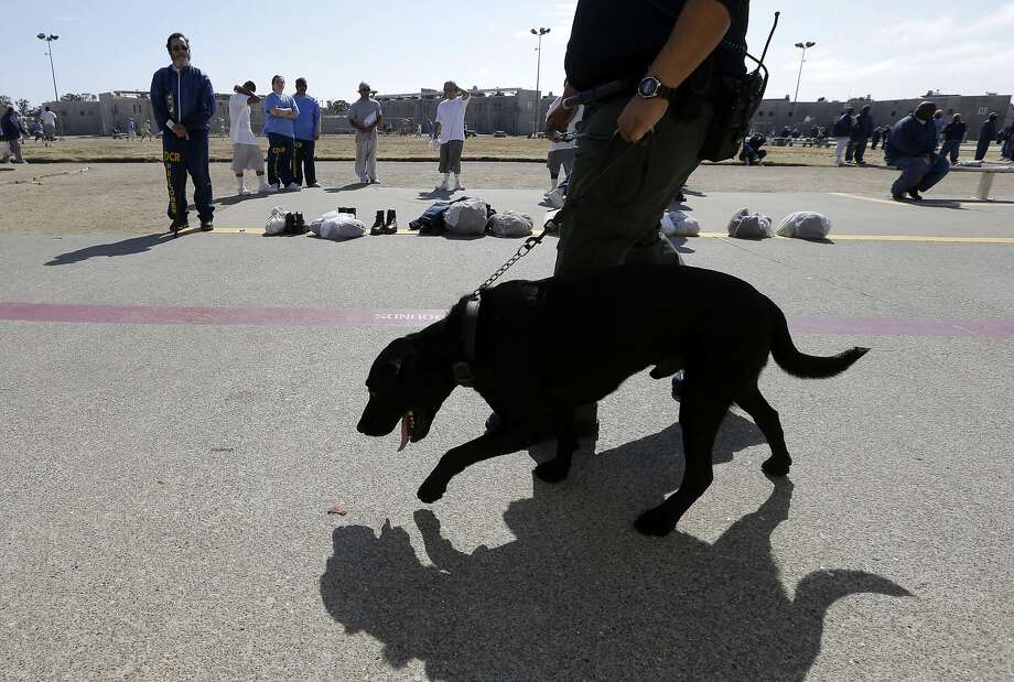 In this photo taken Wednesday May 20, 2015, Correctional Officer D. Rosario walks drug-sniffing dog Bentley, a 3-year-old Labrador retriever, through the main yard at California State Prison, Solano in Vacaville, Calif.  Photo: Rich Pedroncelli, Associated Press