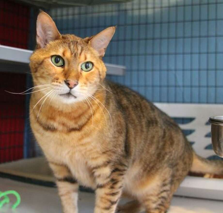 Ferdinand is a beautiful, friendly and chatty Bengal cat. (Mary Lou Baker)