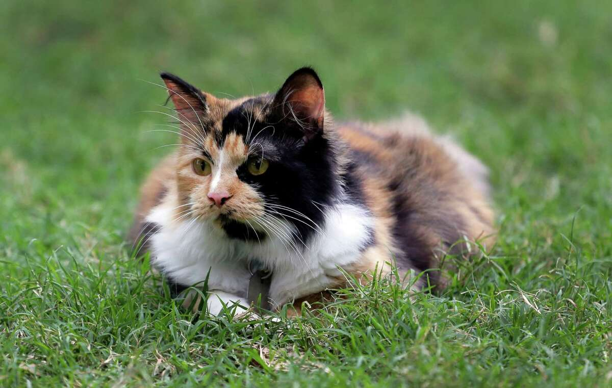 Bella, the Alamo's official cat, roams the grounds of the Alamo, Thursday, June 18, 2015, in San Antonio. The Texas General Land Office on Thursday announced the calico kitty has the formal title Miss Isabella Francisca Veramendi de Valero. (AP Photo/Eric Gay)