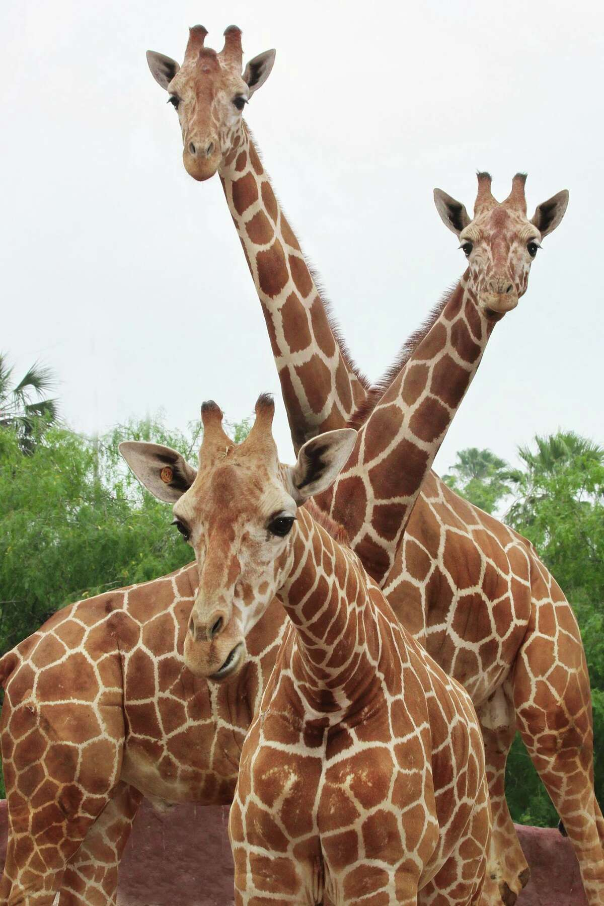 The San Antonio Zoo posted this photo to Facebook Monday, June 22, 2015, saying,