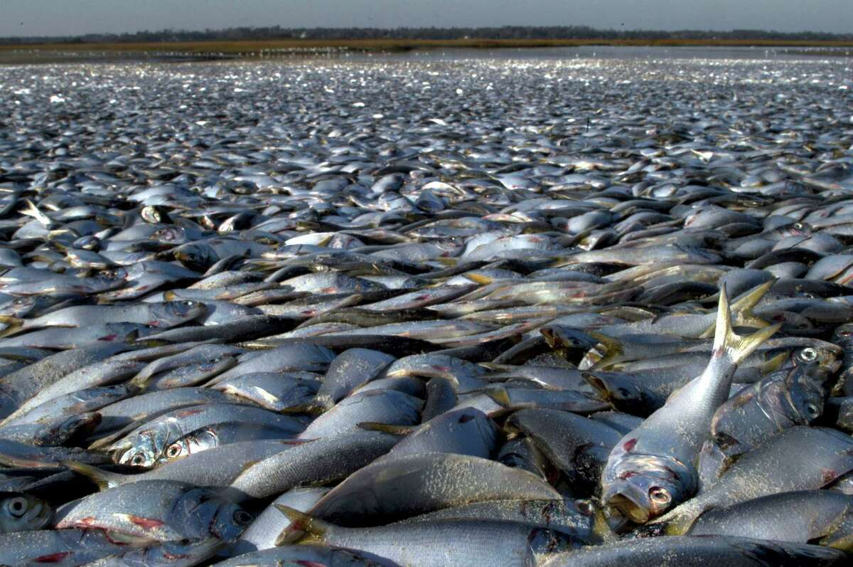 Thousands of dead menhaden fish are seen on the beach on December 19, 2005 in Wrightsville Beach, North Carolina.