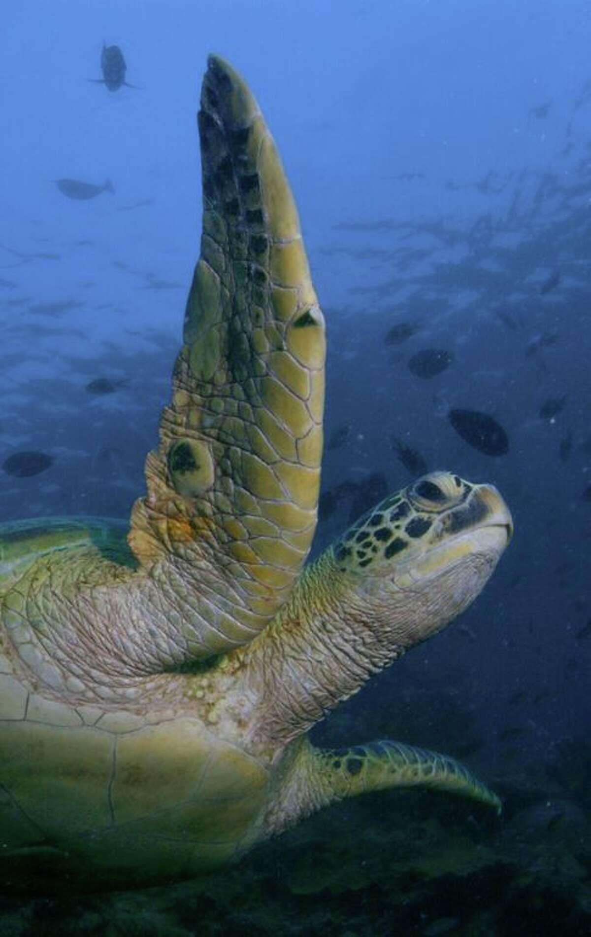 A green sea turtle at Tortuga Cay at the Texas State Aquarium in Corpus Christi.