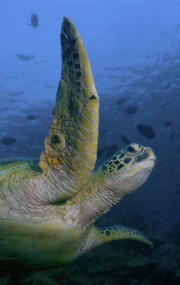 A green sea turtle at Tortuga Cay at the Texas State Aquarium in Corpus Christi. Photo: Courtesy Texas State Aquarium