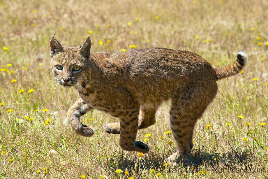 At 8 a.m. Wednesday, the California Fish and Game Commission is expected to decide the fate of another feline: our bobcat.  Photo: Craig Tooley