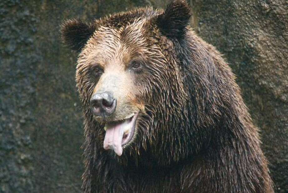 Boomer, a beloved grizzly bear at the Houston Zoo, was euthanized this week after a long period of declining health. He leaves behind another grizzly bear, Bailey. (Photo: Houston Zoo)