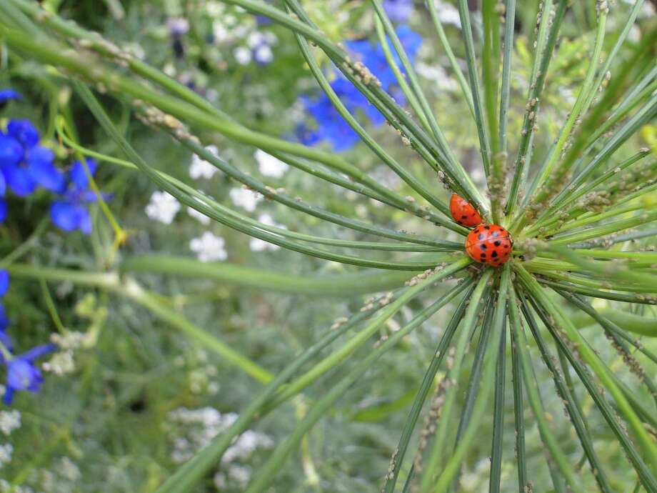 Ladybugs and other predator insects will take care of aphids, which are drawn to lush growth on rain-fueled plants. Photo: Express-News File Photo