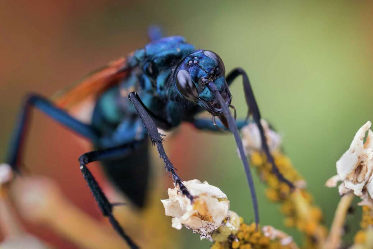 1. Where does it get its name? The Tarantula Hawk gets its name from the female's