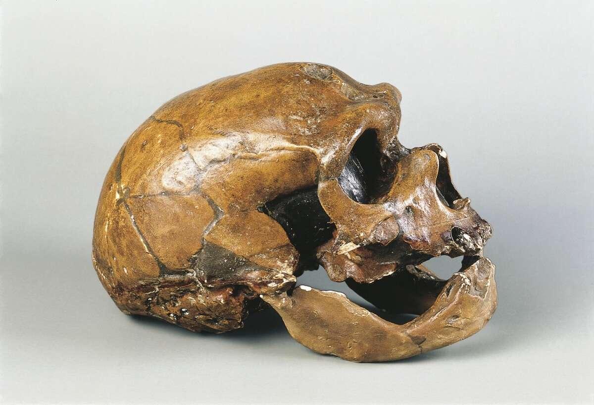 Neanderthal man skull (Homo Sapiens Neanderthalensis) from La Chapelle-aux-Saints, France.