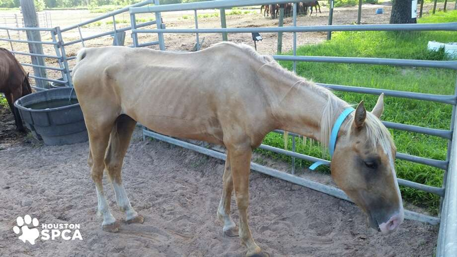 The horse ranch owners have been charged with animal cruelty. Photo: Houston SPCA