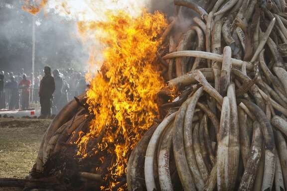 FILE - In this file photo taken March 2015, fifteen tons of elephant tusks are set on fire during an anti-poaching ceremony at Nairobi National Park in Nairobi, Kenya.  Conservationists say it's a possible game-changer in the struggle to curb the slaughter of elephants: a pledge by a Chinese official to stop the ivory trade in a country whose vast consumer market drives elephant poaching across Africa.