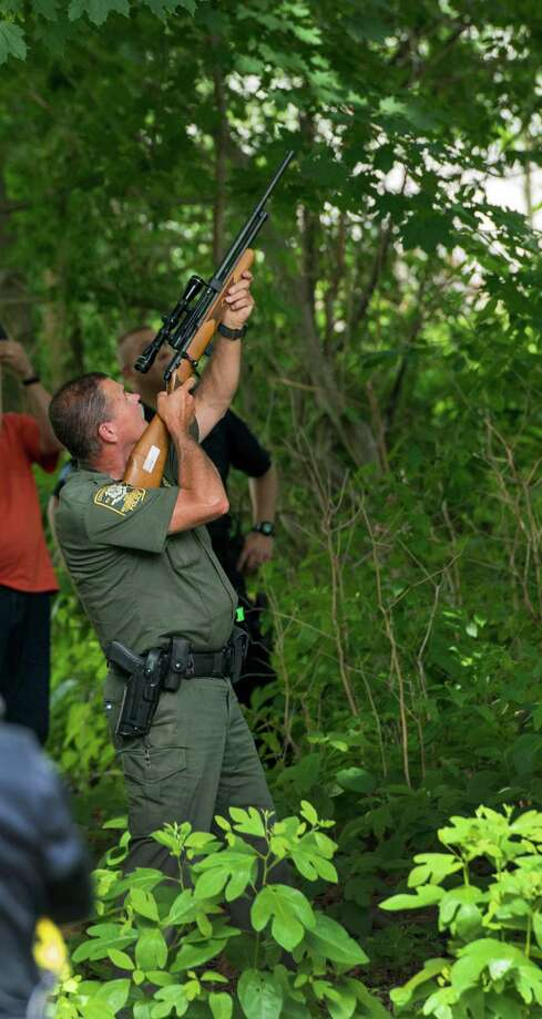 An member of the Connecticut State Environmental Conservation Police shoots a bear with a tranquilizer dart. Officials caught up with the bear in the backyard tree at a home on Mayfair Road, Fairfield, Conn. on Thursday, June 25, 2015. Police received several reports of bears roaming a wide area of the town, leading them to believe there may be more than one bear. Photo: Mark Conrad / For Hearst Connecticut Media / Connecticut Post Freelance