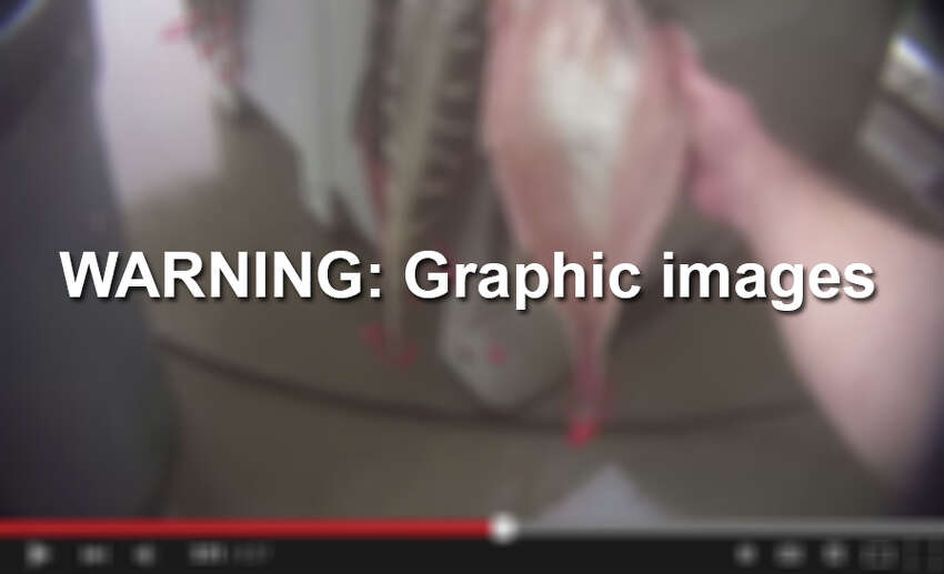 The following images from a PETA undercover video contains scenes of a Texas alligator farm that may be too graphic for some people.