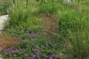 Grasses and herbaceous plants mix in a pocket prairie.