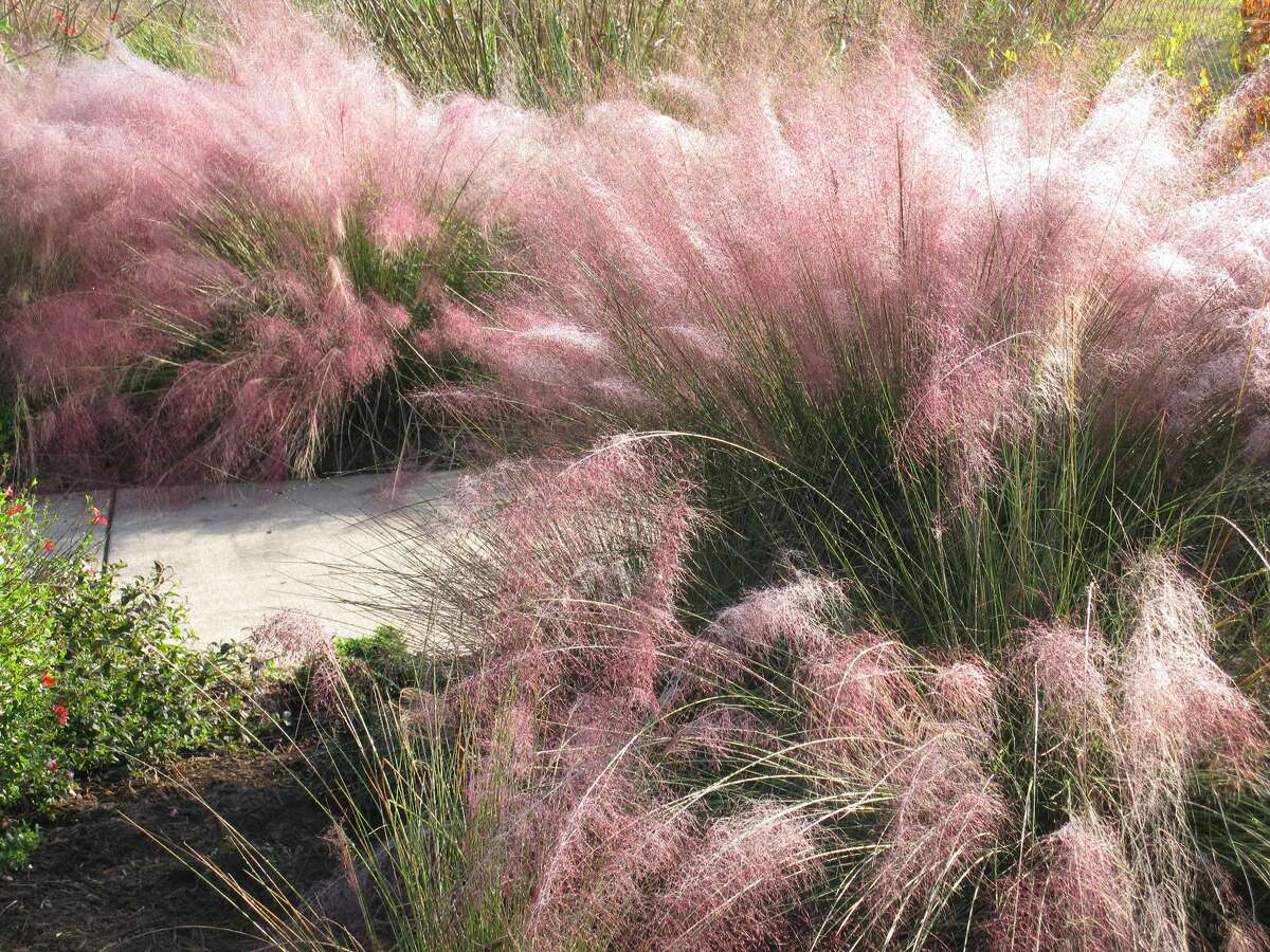 Gulf Muhly -- a gorgeous, deep-rooted grass native to the Houston area -- grows in a school pocket prairie.