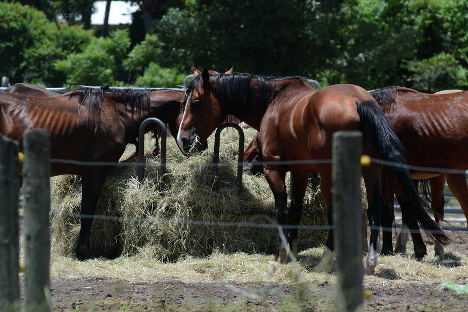 Horses feed on fresh hay on Thursday, June 25, 2015, at the Calico Dairy Farm, a horse-breeding facility located at 10066  League Line Road in Conroe after authorities seized roughly 200 horses and dozens of cows and goats as Montgomery County authorities and the Houston SPCA continued to investigate evidence of animal abuse.  Photo: Jerry Baker, For The Houston Chronicle