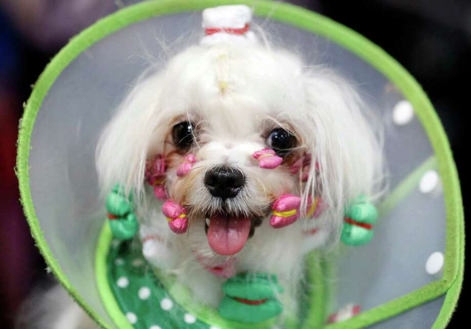 Stephen, two-year-old male Maltese from China, is groomed during Thailand International Dog Show in Bangkok, Thailand on Thursday, June 25, 2015. The dog show is held from June 25 until June 28. Photo: Sakchai Lalit, Associated Press / AP