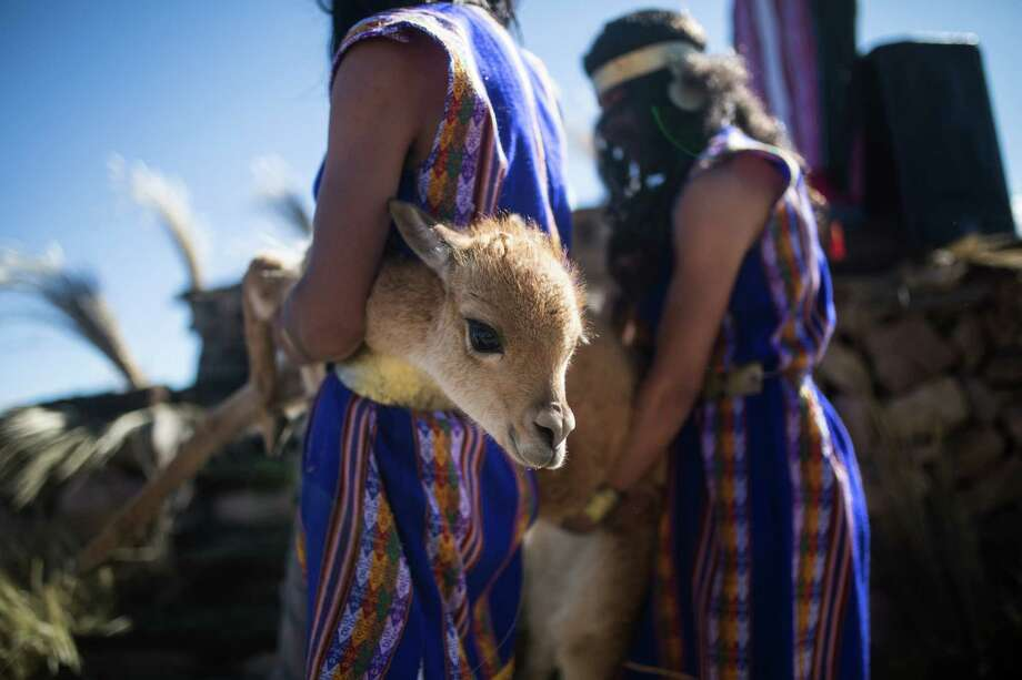 "Two young men dressed as Inca servants carry a vicuna to be sheared during the national ""Chaccu,"" or annual roundup of vicunas, in the Pampa Galeras National Reserve, in the Peruvian state of Ayacucho, Wednesday, June 24, 2015. The annual roundup in which vicunas are captured, shorn and released is both an expression of indigenous culture and a triumph for an international campaign to save the once-endangered animals.  Photo: Sebastian Castañeda, Associated Press / AP"