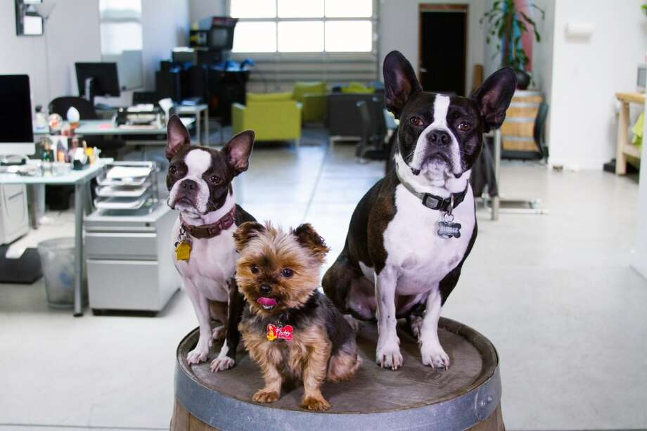 "Boston terriers Molly Smalls and Biggie Smalls and Yorkie Jett go to work at UrbanReel with owners Daniel Wong and Katie Lee every day. ""Our office space is long and open, which allows the dogs to run, play, and wrestle however they please,"" Wong wrote. Photo: Daniel Wong"