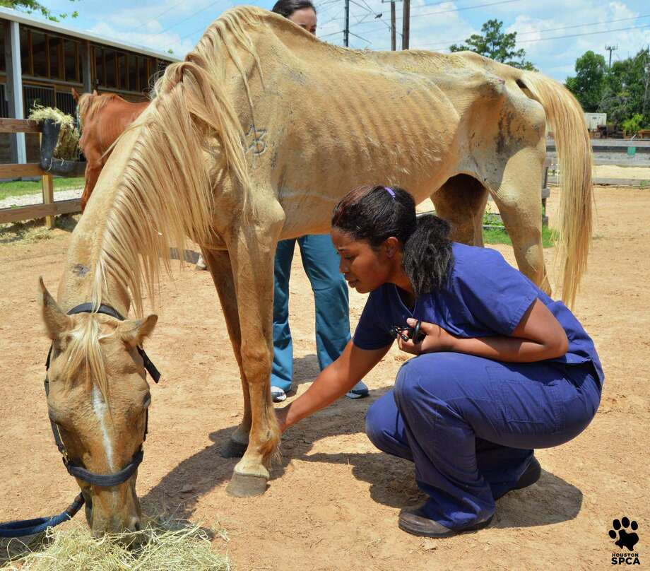 The Houston SPCA rescued horses near Conroe. Photo: Houston SPCA