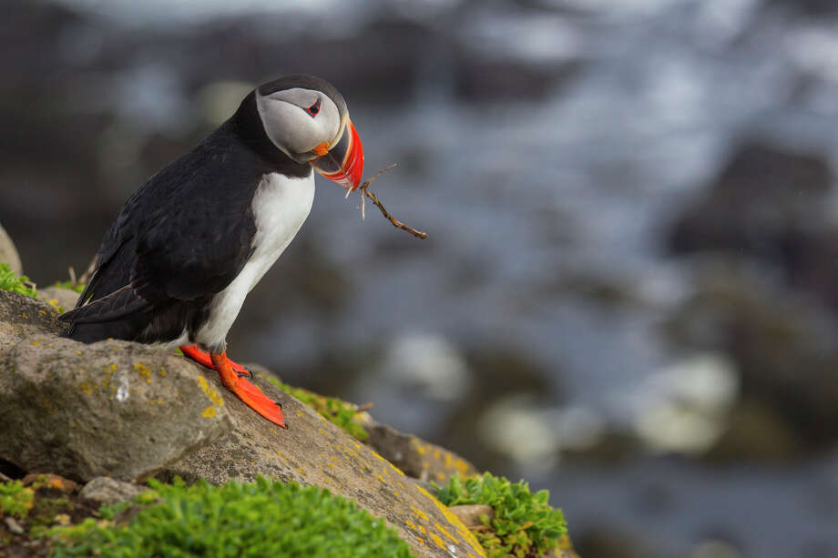 An Atlantic puffin carries nesting material to its burrow on the Latrabjarg Cliffs in western Iceland. Photo: Kathy Adams Clark / Kathy Adams Clark/KAC Productions