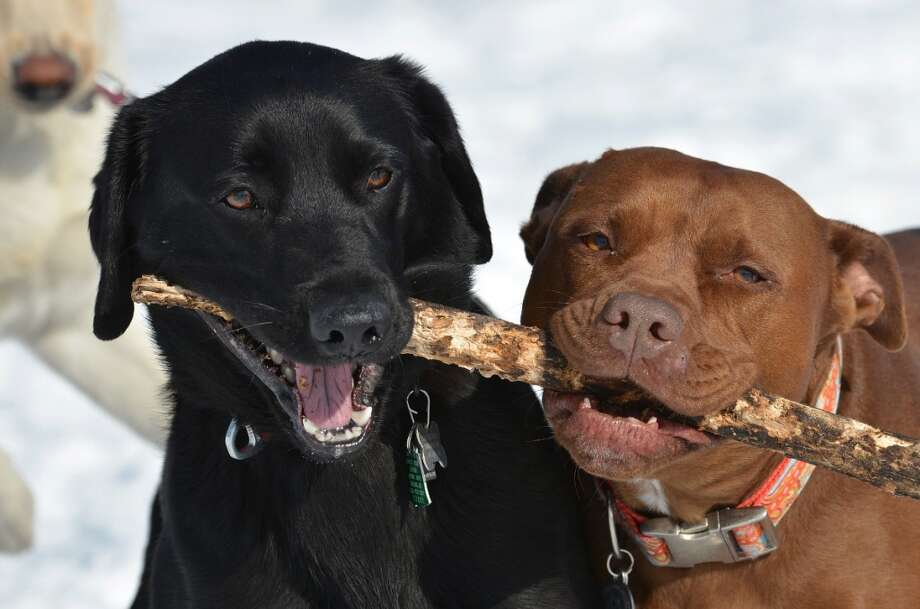 "Click through to see photos of pets featured in the Times Union book ""Great Dogs of Albany and Beyond."" For more information, visit http://timesunion.com/dogs.Toby and Emily, from the Labrador retriever page on AlbanyDogs.net (Photo by Michael Kalin) Photo: ALL"