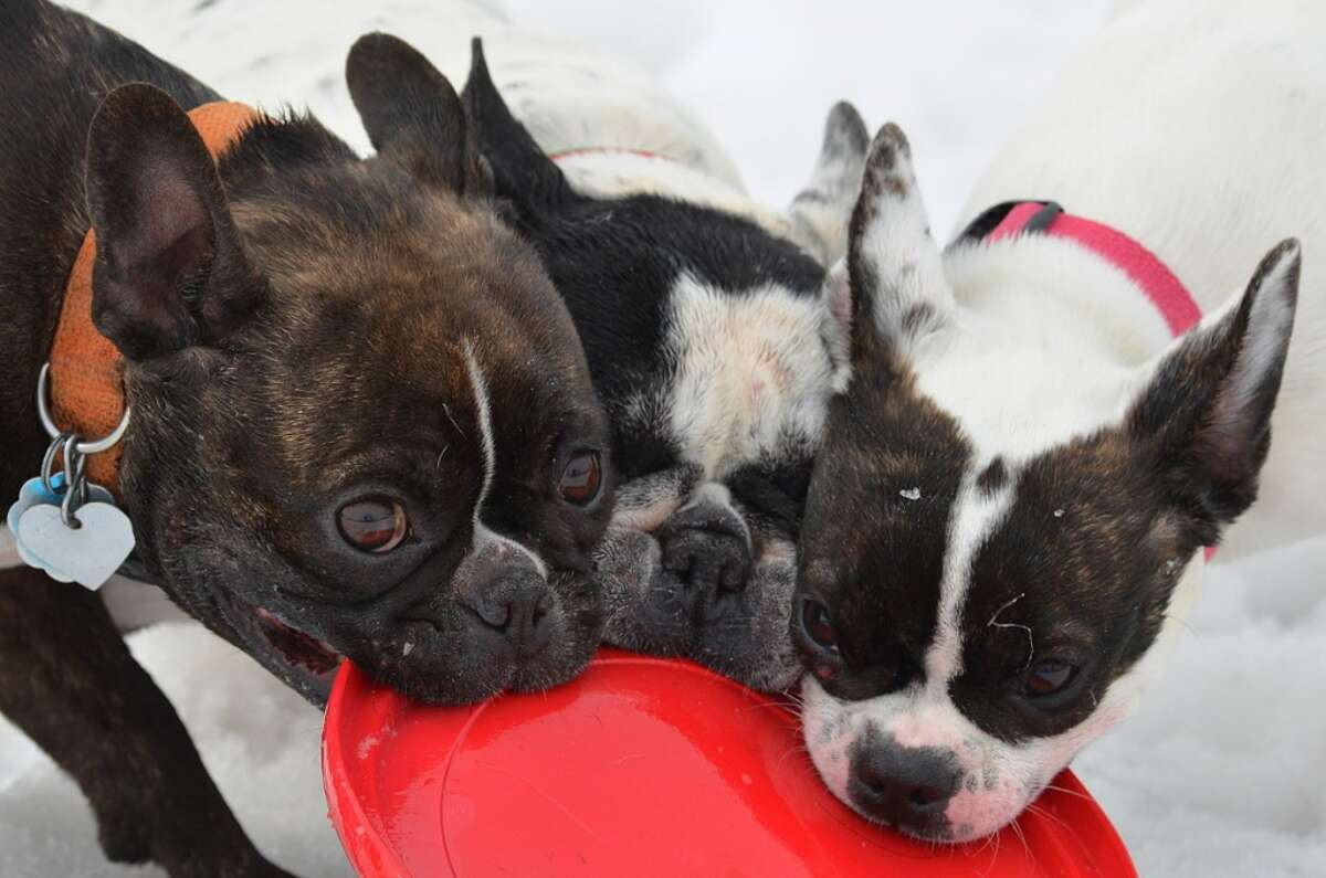 Roxie, Stella and Grace from the French bulldog-Boston terrier page on AlbanyDogs.net (Photo by Michael Kalin)