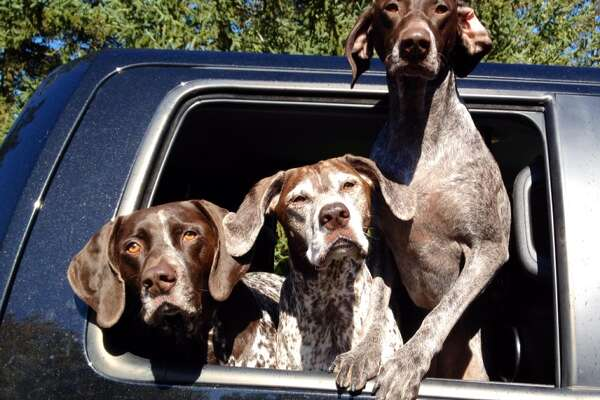 Daisy, Maggie and Kalie the German shorthaired pointers (Photos courtesy of Renee Pizzo-Roy)