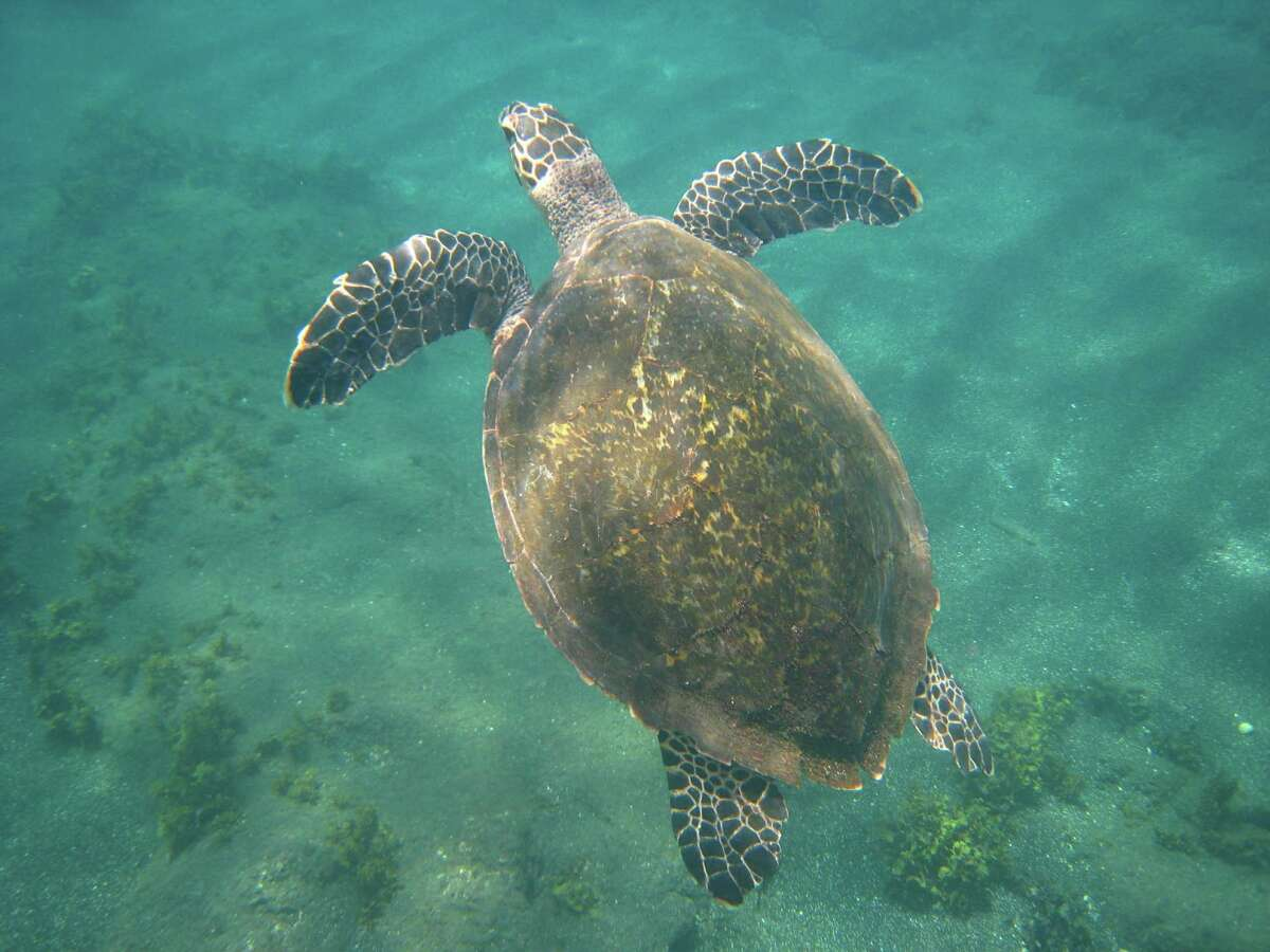 Vitals The top shell of a turtle is called the carapace and the bottom is called the plastron. A sea turtle cannot retract its head and legs.