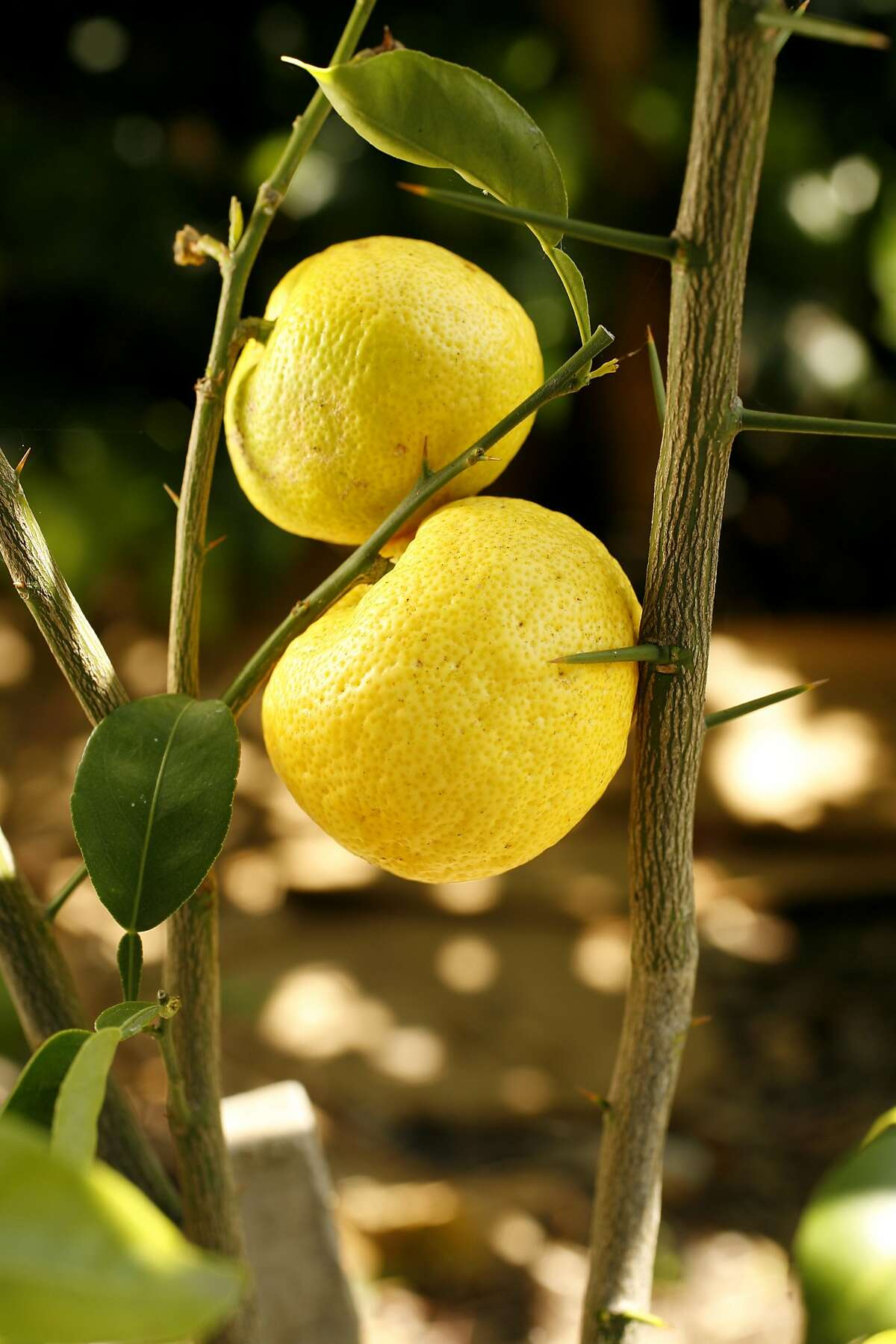 YUZU31_fruit_078_cl.JPG Photo of a Yuzu tree and it's fruit in Andy Powning's back yard. Craig Lee / The Chronicle