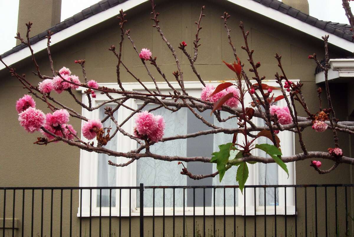 After the mild 2014-2015 winter, flowering cherries bloomed poorly and late--and only a few leaf buds had opened by the end of June.