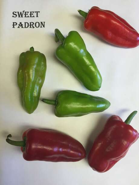 Sweet Padrón peppers start out green and turn red as they mature. About 1 in 10 peppers packs heat. Photo: Happy Quail Farms