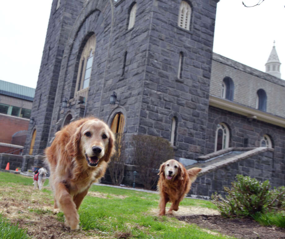 Golden retrievers, Clancy, left, and Chase at St. Mary Church in Greenwich, Conn., Friday, April 18, 2014. Margaret Casey who works at the church is looking for a person or family to adopt the dogs (as a pair) that belong to the Rev. Monsignor Frank Wissel who use to live with the dogs at the parish but is now a resident at Nathaniel Witherell where pets are not allowed. The Rev. Monsignor Wissel will be officially retiring in mid-June. Photo: Bob Luckey / Bob Luckey / Greenwich Time