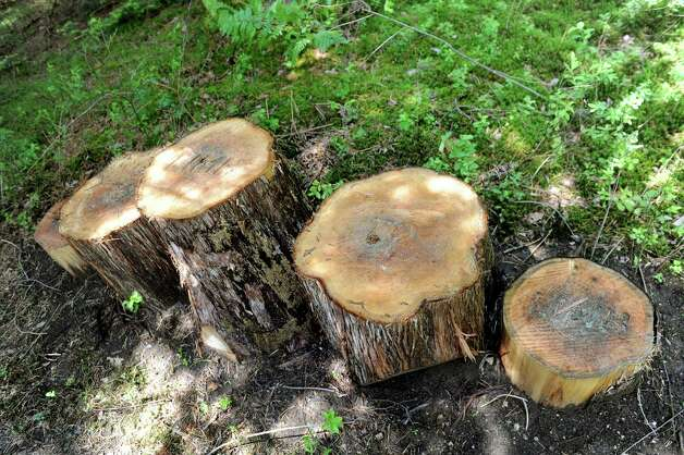 Tree stumps are in place for playing and posing for pictures on the new Wild Walk on Tuesday, June 23, 2015, at the Wild Center in Tupper Lake, N.Y. (Cindy Schultz / Times Union) Photo: Cindy Schultz / 00032307A