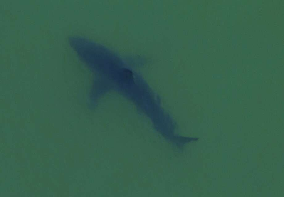 Marine biologist Giancarlo Thomae boarded a helicopter to photograph this great white shark offshore Seacliff State Beach in Aptos in Monterey Bay that he estimated at 18 or 19 feet, 5,000 pounds. It was one of 15 great white sharks Thomae counted within a half mile of shore. Photo: Giancarlo Thomae