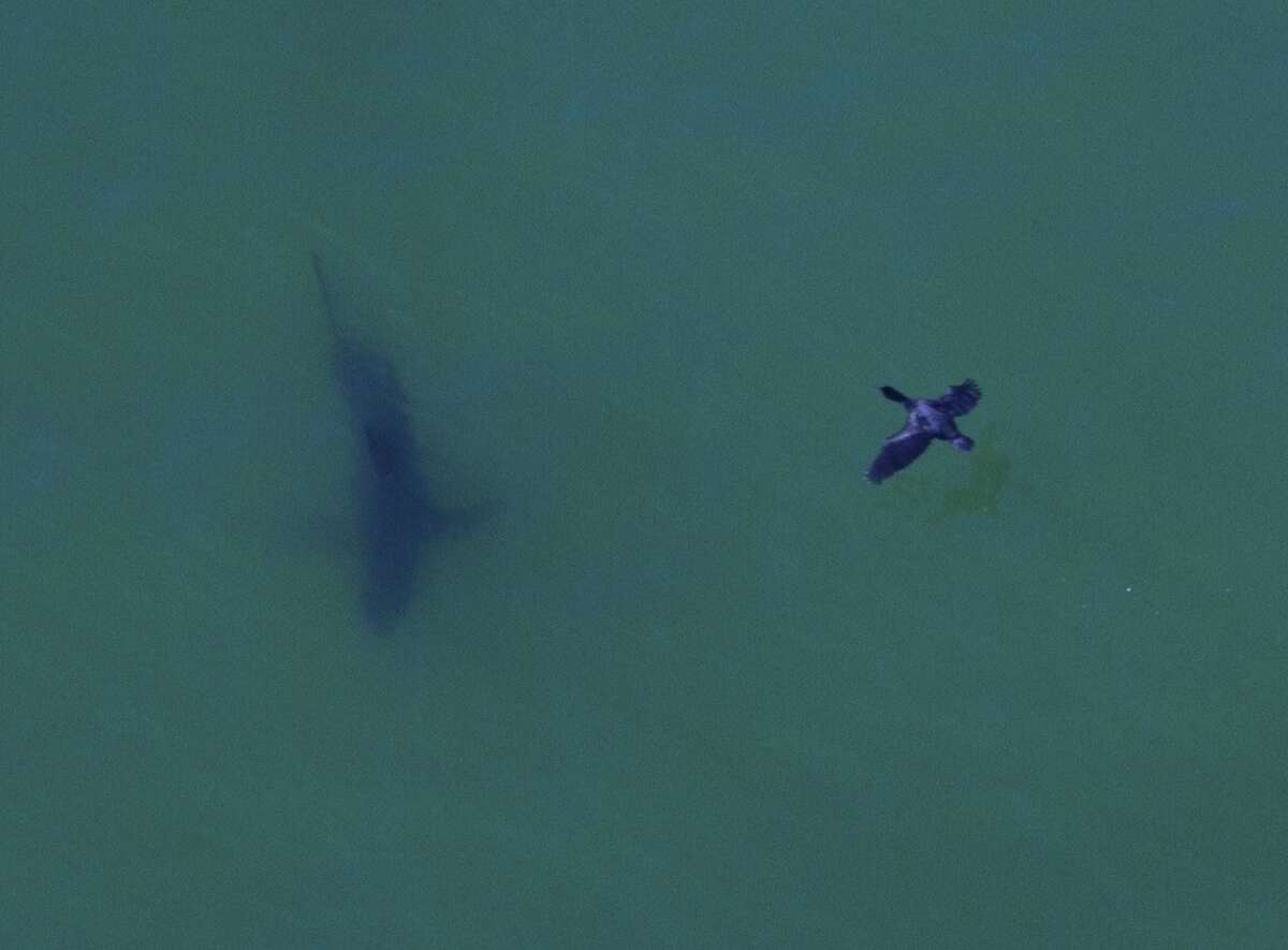 A cormorant cruises over the top of a big great white shark off Seacliff State Beach