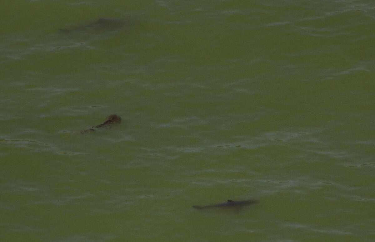 Trio of sharks: Photographed from helicopter a short distance from cement ship