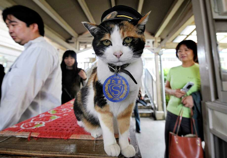 """Tama in Tokyo in 2008. (FILES) This file picture taken on May 22, 2008 shows a female cat named """"Tama"""", known as cat stationmaster of Wakayama Electric Railway, at Kishi station on the Kishigawa line in the city of Kinokawa, in Wakayama prefecture, western Japan.  Tama, a cat that served as nominal stationmaster on the obscure Japanese branchline, bringing thousands of extra tourists and spawning a merchandising gold rush has died at the age of 16, a railway spokesman said on June 25, 2015.       AFP PHOTO / FILES / Toru YAMANAKATORU YAMANAKA/AFP/Getty Images Photo: TORU YAMANAKA, Staff / AFP"""