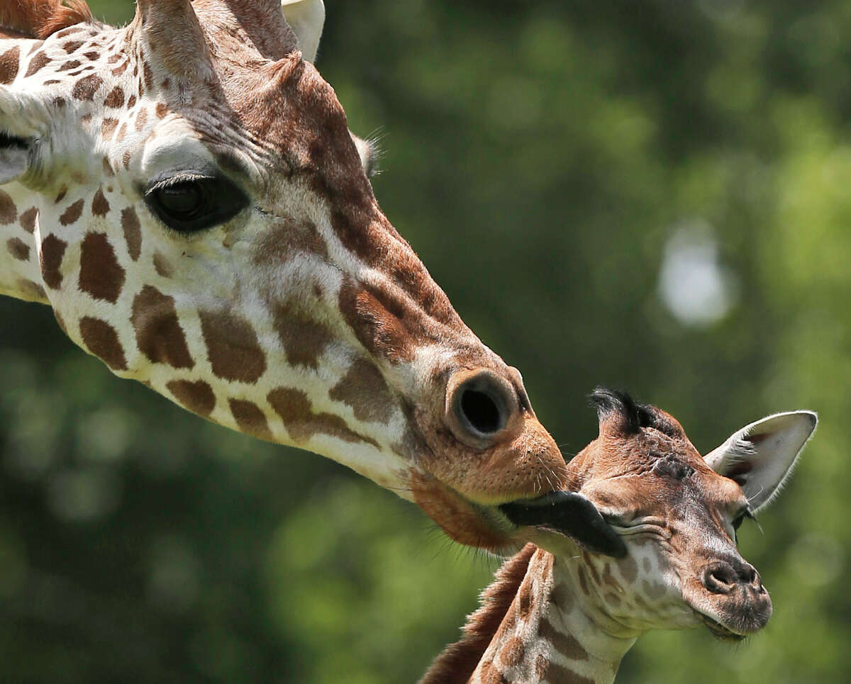 A female giraffe calf, right, born on Monday, is licked by her mother Ellie at the Oklahoma City Zoo, Tuesday, June 23, 2015, in Oklahoma City.
