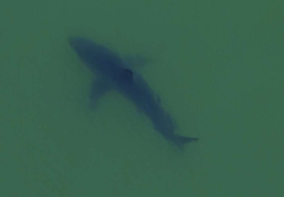 From a helicopter, scientist Giancarlo Thomae took this photograph of a great white shark he estimated at 18 feet Photo: Giancarlo Thomae Photography, KayakWhaleWatching.com
