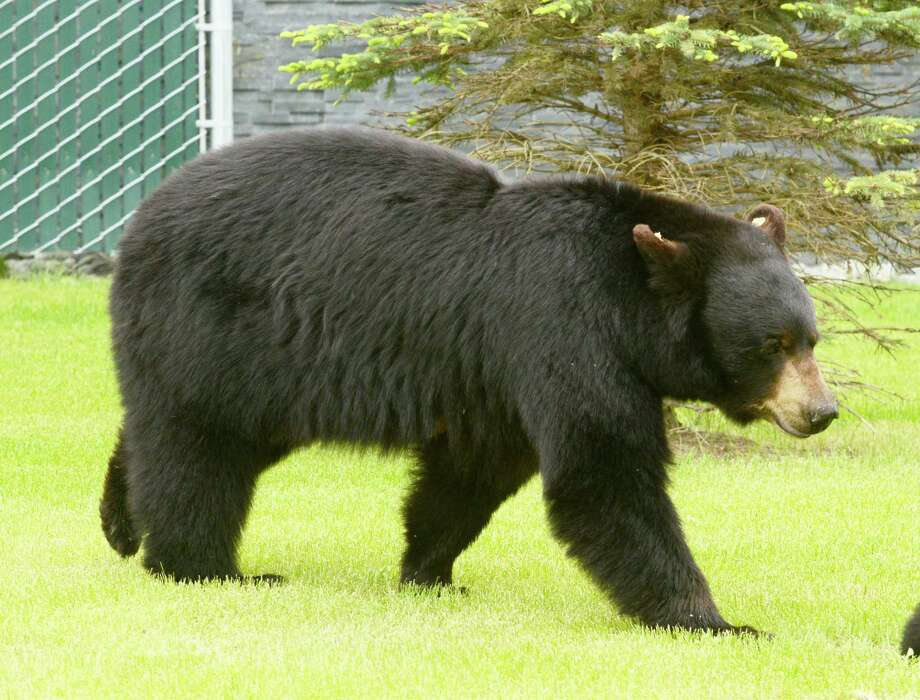 A black bear, similar to this one, was recently sighted in New Canaan. Photo: Bob Hallinen / Associated Press / Anchorage Daily News