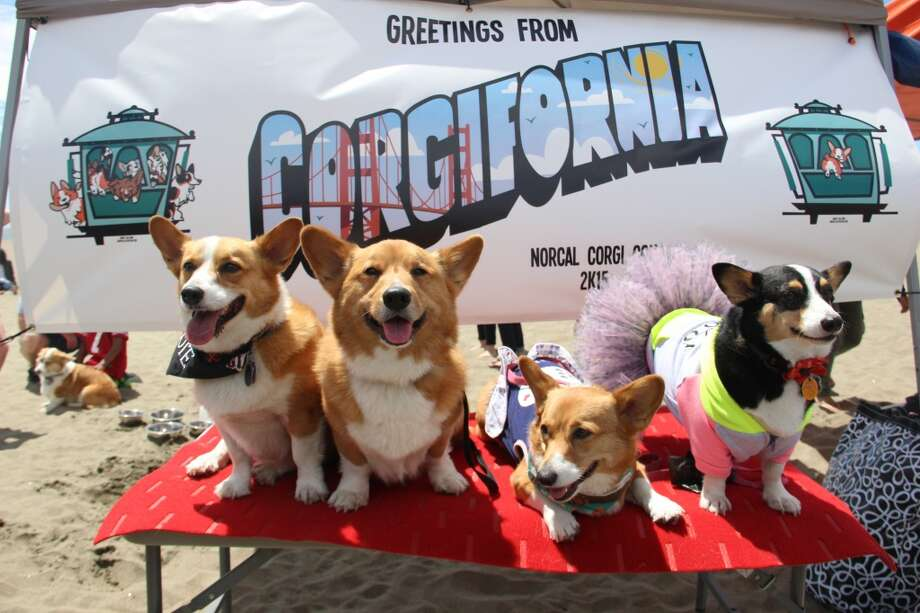 Nor Cal Corgi Con brought 475 corgis to San Francisco's Ocean Beach on June 27, 2015.