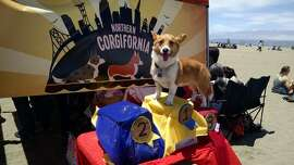 Mickey Da Corgi  was the 1st place winner in the Corgi Races at Nor Cal Corgi Con.
