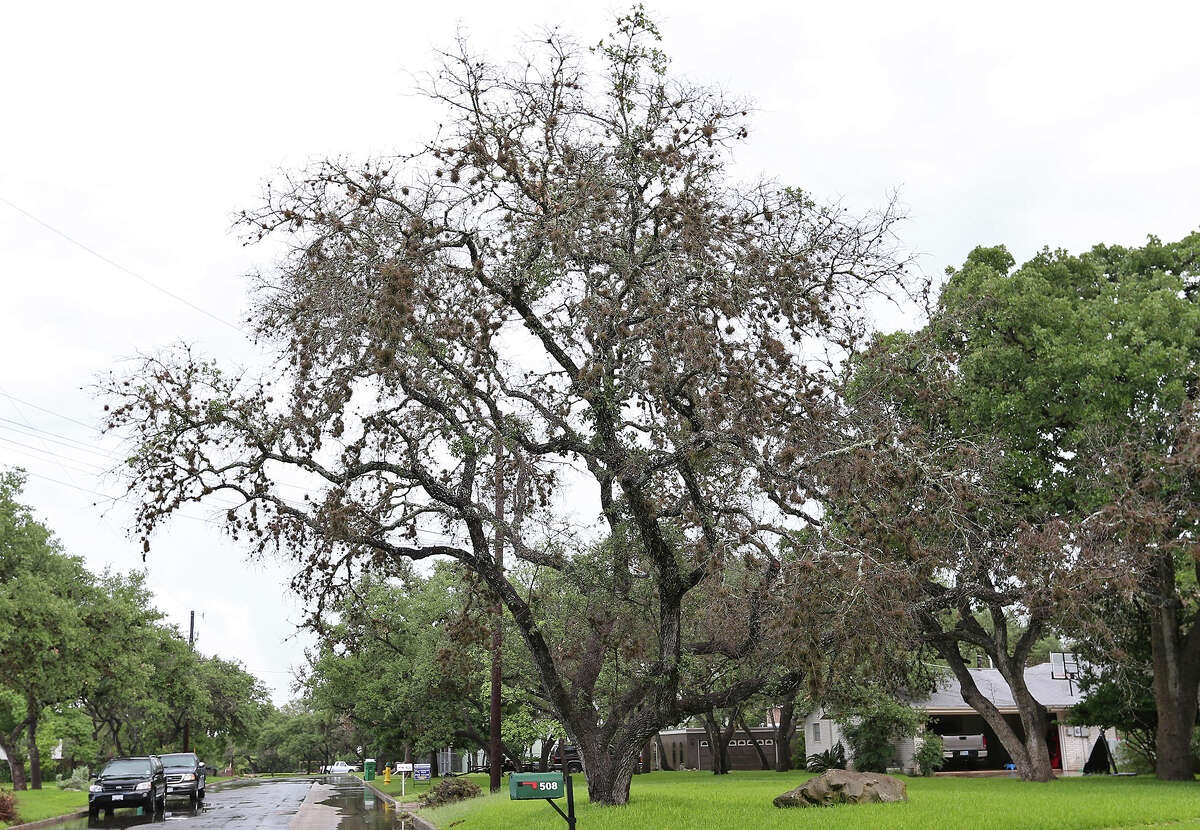 A live oak shows signs of oak wilt in Hollywood Park, Monday, June 9, 2014. It is one of several areas in Bexar County affected by oak wilt. Around 35 acres are affected in Hollywood Park.