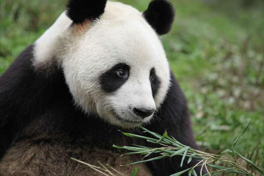A giant panda at Ya'an Bifengxia Giant Panda base in Wolong China, a leading panda-breeding center.