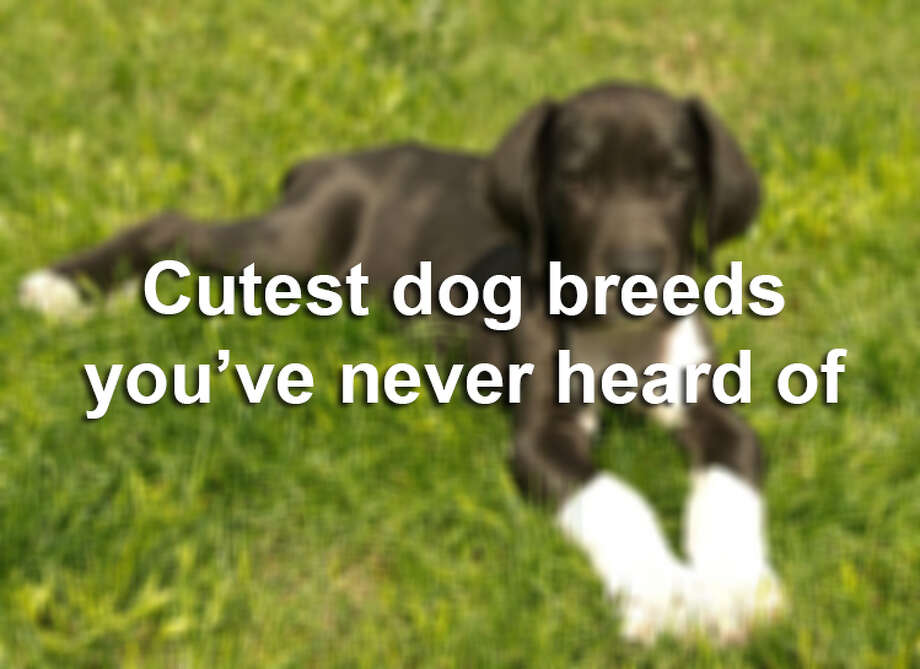 These dog breeds aren't top of mind for most Americans, but that doesn't mean they're not cute as a button. Keep clicking to see the least popular, super cute dogs in America.Source: PetBreeds