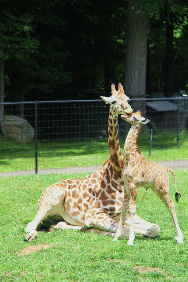 Zaffi, a baby giraffe, with his mom, Petal, at Greenwich's LEO Zoological Conservation Center. Zaffi was born on June 21, World Giraffe Day. The male calf was 5-foot, 8 inches tall at birth. Photo: Contributed Photo / Greenwich Time Contributed